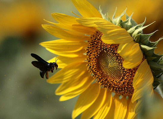Amarre de la abeja reina